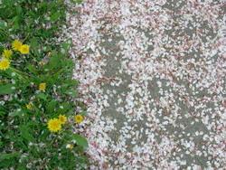 petals on the sidewalk