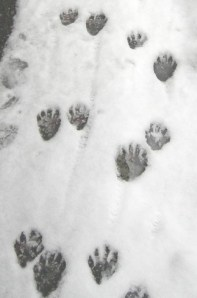 raccoon_tracks2