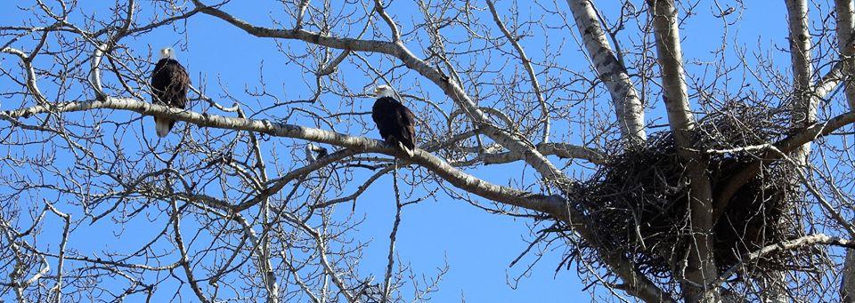 eagles_CaroleMacRury